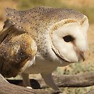 Barn Owl by Alex Colcheedas