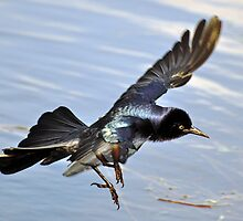 Boat-tailed Grackle by venny