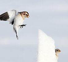 Hide and go Peep - Snow Buntings by Jim Cumming