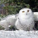 Snow Owl by cherylc1