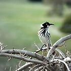 New Holland Honeyeater On Lookout by Ben Scholz