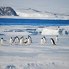 Adelie Penguins Antarctica by cactus82