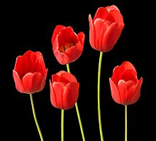 Red Tulips against a Black Background Wall Art by Natalie Kinnear