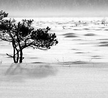 24.1.2012: Pine Tree, Winter Day by Petri Volanen
