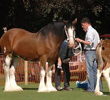 Dray horse at the show by Pete Johnston
