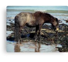 Dartmoor Pony Enjoying Eating Seaweed On Remote Beach In South Devon Canvas Print