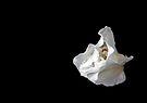 White Azalea Bud by Debbie Pinard