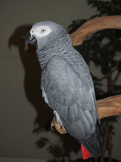 African Grey by Bekah Reist