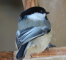 Black-Capped Chickadee by Darcy Overland