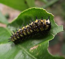 Dingy Swallowtail butterfly larva by MiloAddict