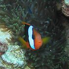 clown fish by springs