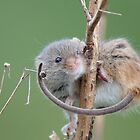 Harvest Mouse by Gill Langridge