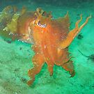 Cuttle Fish by springs