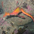 Weedy Sea Dragon by springs