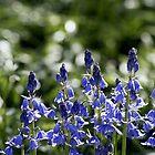 Bluebells by Lennox George