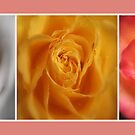 Trio of Roses by FelicityB