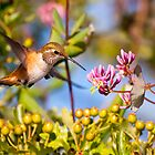 Rufous Hummingbird and Honeysuckle by Tom Talbott