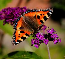 Tortoiseshell Butterfly by Ross Buchanan