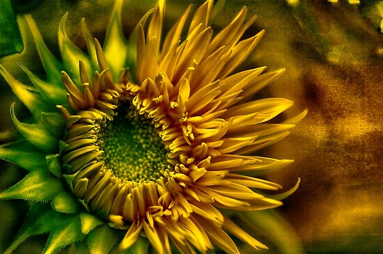 Sunflower by LudaNayvelt