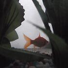 Photo project: Goldfish/(2 of 4) -(270112)- digital photo by paulramnora