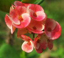 Crown of thorns flower by Rainy