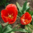 Two Red Tulips by BialySnieg96