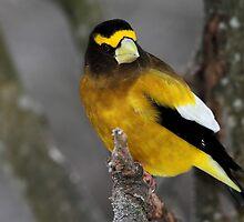 Yellow Jacket / Evening Grosbeak Male by Gary Fairhead