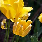 Bright yellow tulip blossoms. by Amara Paul