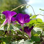 Glowing purple clematis in the sun.  by Amara Paul