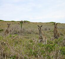 Kangaroos by Sandy1949