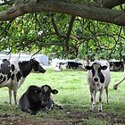 More Dairy Cows by yolanda
