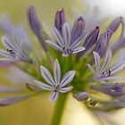 Agapanthus in bloom by Leah Kennedy