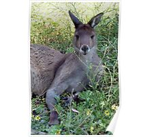Skippy the bush kangaroo Poster