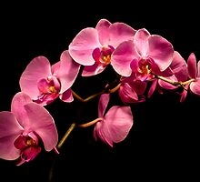 Pink Orchids-Light Painting by onyonet photo studios