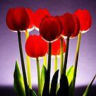 Red tulip portrait in studio by Heather  McCann