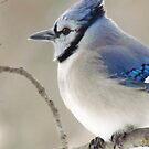 The Blue Jay by lorilee