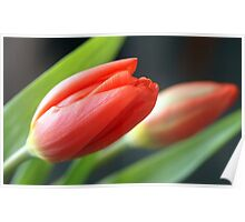Tulips in January Poster