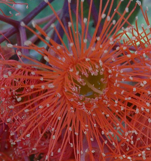 Red Flowering Gum by KazM