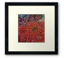 Red Flowering Gum Framed Print
