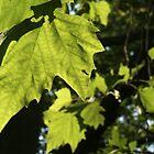 Leaf Glow by Lennox George