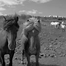 Icelandic Horses by Louise Fahy