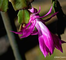 Christmas Cactus Bloom by Glenn Cecero