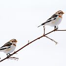 Snow Buntings on a Branch by Bill McMullen