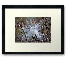 Great White Egret Breeding Plumage Framed Print
