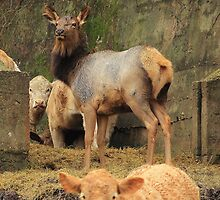Elk thinks She is a Cow by David  Hughes