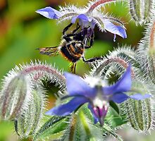 Borage & Bee by Morag Bates