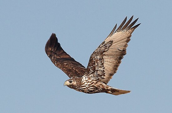 012912 Red Tailed Hawk by Marvin Collins