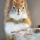 Red Squirrel on Birch by Mully410