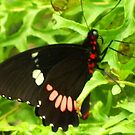 Butterfly 104a by Angelica Frances