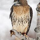 Redtail hawk for malcolm by cherylc1